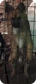 Pomeranian Dog for adoption in Del Rio, Texas - Bailor