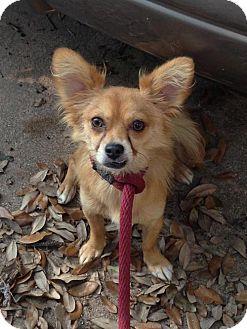 Pomeranian/Chihuahua Mix Dog for adoption in Houston, Texas - Sprite