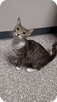 Domestic Shorthair Cat for adoption in Chaska, Minnesota - Maleficent