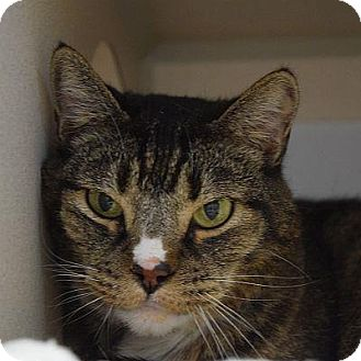 Domestic Shorthair Cat for adoption in Denver, Colorado - Yukon