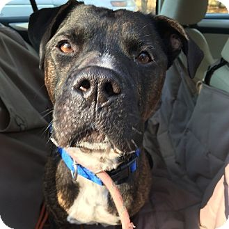 Mastiff/Pit Bull Terrier Mix Dog for adoption in East Hartford, Connecticut - Max