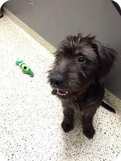 Schnauzer (Standard)/Wirehaired Fox Terrier Mix Dog for adoption in St. Louis, Missouri - Caesar
