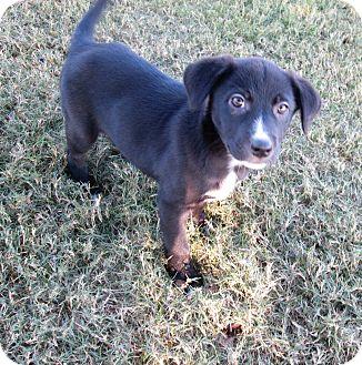Australian Shepherd/Border Collie Mix Puppy for adoption in Trenton, New Jersey - Tippy Toe