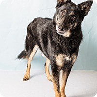 German Shepherd Dog Mix Dog for adoption in Hendersonville, North Carolina - Rocky