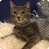 Domestic Shorthair Cat for adoption in Pasadena, Texas - Annabelle