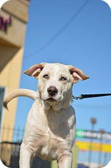 Great Pyrenees/Australian Shepherd Mix Puppy for adoption in Houston, Texas - Hank