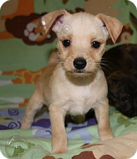 West Highland Terrier Mix Puppies Monty | Adopted Puppy ...