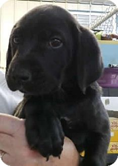 Labrador Retriever Mix Puppy for adoption in Avon, New York - Bugle Boy