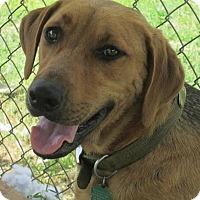 Adopt A Pet :: Bear - Natchitoches, LA