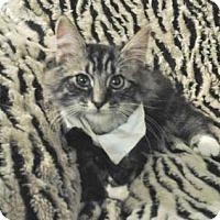 Adopt A Pet :: Mozart - Davis, CA