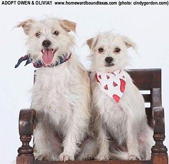 Terrier (Unknown Type, Small) Mix Dog for adoption in McKinney, Texas - Owen