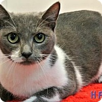 Domestic Shorthair Cat for adoption in Sebastian, Florida - Charlie Bean