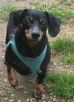 Dachshund Mix Dog for adoption in Georgetown, Kentucky - Heidi