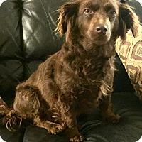 Adopt A Pet :: Cocoa - Boulder, CO