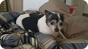 Chihuahua/Rat Terrier Mix Dog for adoption in Georgetown, Kentucky - Cujo 2