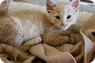 Domestic Shorthair Kitten for adoption in Polson, Montana - Ridley