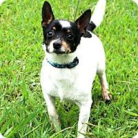 Rat Terrier Mix Dog for adoption in Glastonbury, Connecticut - Mancini~meet me!