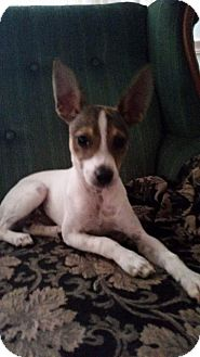 Chihuahua/Australian Shepherd Mix Puppy for adoption in Providence, Rhode Island - Uno