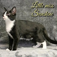 Domestic Shorthair Cat for adoption in Houston, Missouri - Little Miss Sunshine
