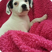 Spaniel (Unknown Type) Mix Puppy for adoption in Orland Park, Illinois - AF3 (female)
