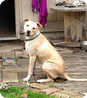 Labrador Retriever/American Staffordshire Terrier Mix Dog for adoption in LANSING, Michigan - Griffin