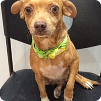 Dachshund Mix Dog for adoption in Jupiter, Florida - Tinker