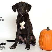 Adopt A Pet :: Ike - Baton Rouge, LA