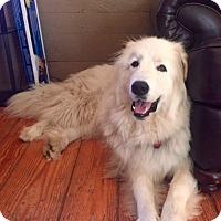 Adopt A Pet :: Scout - in ME - Lee, MA