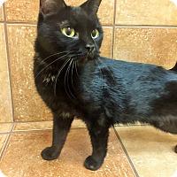 Domestic Shorthair Cat for adoption in Appleton, Wisconsin - Madison *Petsmart GB*