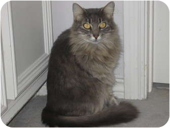 Maine Coon Cat for adoption in Huffman, Texas - Millie