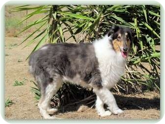 Collie Dog for adoption in Trabuco Canyon, California - Jazmin