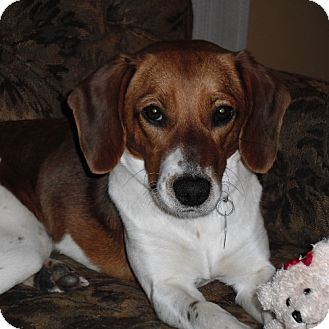 Beagle Dog for adoption in Novi, Michigan - Desi