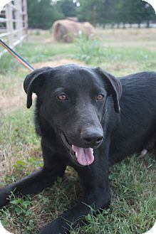Labrador Retriever/German Shepherd Dog Mix Dog for adoption in Stilwell, Oklahoma - Ace