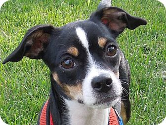 boston terrier jack russell willow adopted puppy washington pa boston terrier 7217