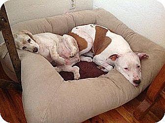 Pit Bull Terrier Mix Dog for adoption in Phoenix, Arizona - Clara Belle