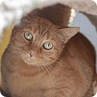 Domestic Shorthair Cat for adoption in Denver, Colorado - Yalu