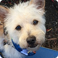 Adopt A Pet :: Whistler! Low shedding breed! - Los Angeles, CA