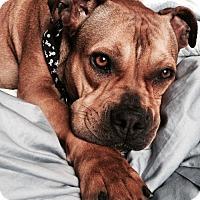 Adopt A Pet :: Sonia - West Los Angeles, CA