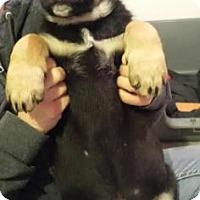 Adopt A Pet :: Hulk - Warsaw, IN