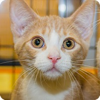 Adopt A Pet :: Lollie - Irvine, CA