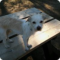 Adopt A Pet :: Caesar - Gig Harbor, WA