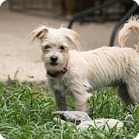 Adopt A Pet :: Winston - Woonsocket, RI