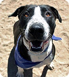 Border Collie/Labrador Retriever Mix Dog for adoption in Tucson, Arizona - Cassius