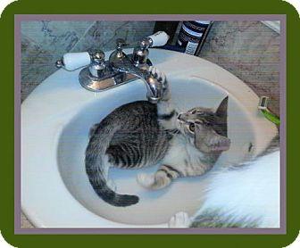 Domestic Mediumhair Kitten for adoption in Euless, Texas - Kitten - Minnie