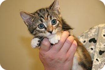 Domestic Shorthair Kitten for adoption in Wildomar, California - Angel