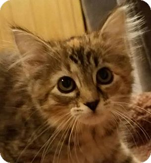 Domestic Mediumhair Kitten for adoption in Colfax, Iowa - Selma