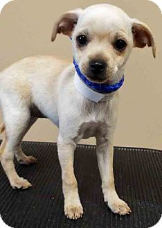 Chihuahua/Terrier (Unknown Type, Small) Mix Puppy for adoption in Oswego, Illinois - ADOPTED!!!   Rachel