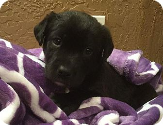 Labrador Retriever Mix Puppy for adoption in Kaufman, Texas - Deogee
