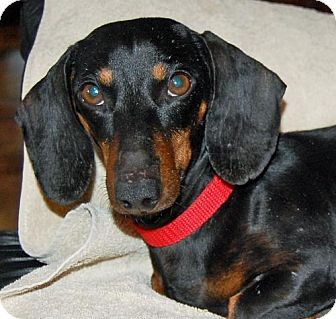 Dachshund Dog for adoption in Columbia, Tennessee - Doc in TN