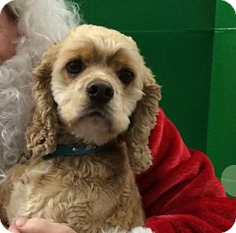 Cocker Spaniel Dog for adoption in Hudson, Wisconsin - Lenny